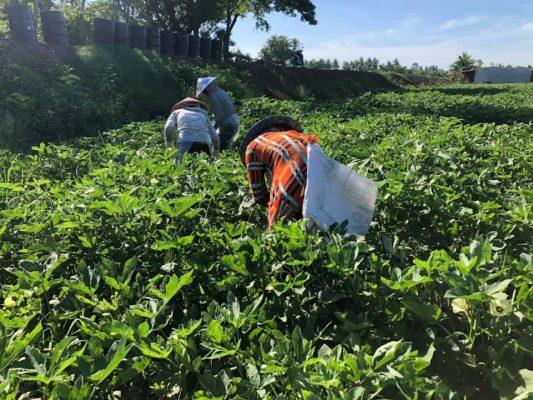 Trang trại trồng đậu bắp